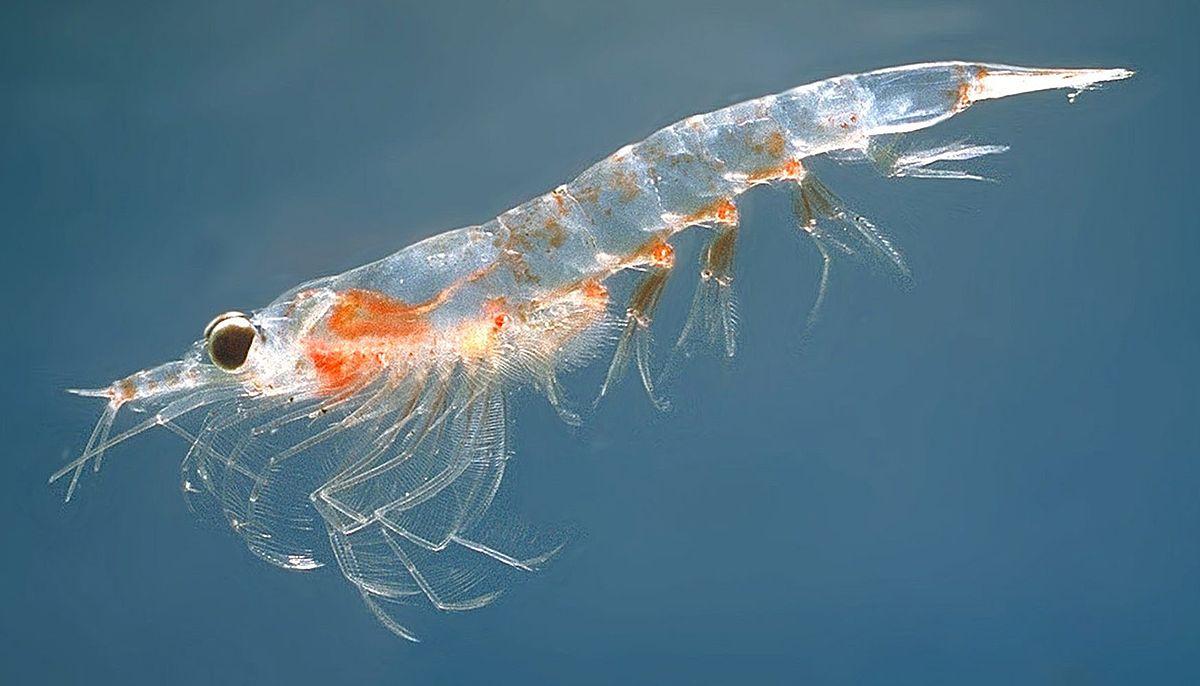 krill huile EPA DHA